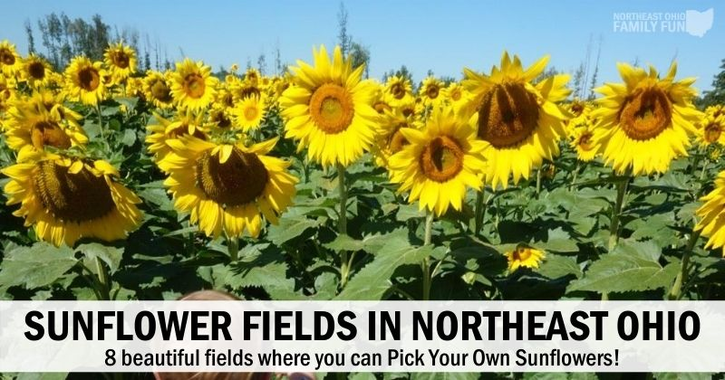 8+ Picturesque Sunflower Fields in Northeast Ohio You Must Visit this Year